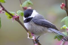 vandSunedsYol 1 (edpaul Photos) Tags: smallbirds bird wild