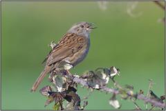 Dunnock (Full Moon Images) Tags: rspb fen drayton lakes wildlife nature reserve cambridgeshire bird dunnock