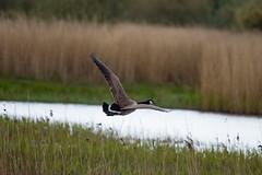 Canada Goose (Keith Grafton) Tags: leightonmoss canada goose bif birds