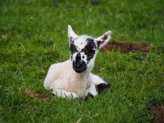 A Little Woolly... (Céanndhubahn) Tags: easter hoursold babysheep newborn lamb