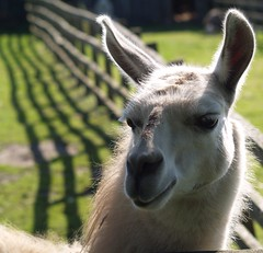 Close-up of Hairy Llama on a Sunny Day (publicdomainphotography) Tags: farm nature animal white landscape agriculture farming rural mammal wildlife travel llama alpaca peru argentina andes face hair wool america lama cute south tourism machu domestic inca herd pets closeup warm hobby fence field