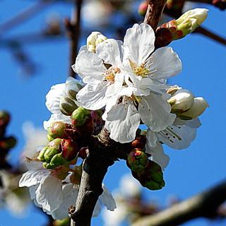Las flores de mi cerezo - The flowers of my cherry tree