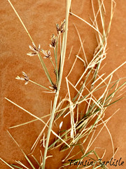Desert Sedge (tinlight7) Tags: sedge desert sand dune sharjah uae taxonomy:kingdom=plantae plantae taxonomy:clade=tracheophyta tracheophyta taxonomy:phylum=magnoliophyta magnoliophyta taxonomy:class=liliopsida liliopsida taxonomy:order=poales poales taxonomy:family=cyperaceae cyperaceae taxonomy:genus=carex carex taxonomy:species=resectans taxonomy:binomial=carexresectans carexresectans desertsedge taxonomy:common=desertsedge