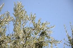 20160804-23 (Heinrock) Tags: assisi italy nikond7000 summer sunshine tree branch olives