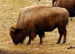 Bison (Ramona H) Tags: bison grazing yellowstone gardiner gardinermt
