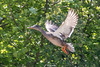 Mallard-0009.jpg (vorneo) Tags: bird duck mallard familyanatidae kingdomanimalia orderanseriformes classaves genusanas wild phylumchordata speciesaplatyrhynchos wildbird binomialnameanasplatyrhynchos