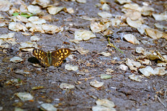 Pararge aegeria (M a r i S à) Tags: lepidoptera nymphalidae parargeaegeria