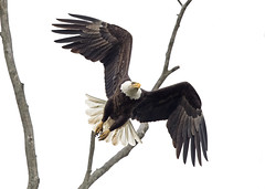 Off to Hunt (zarb67) Tags: americanbaldeagle flying baldeagle birdinflight birdsofprey raptors wildlifephotography eagle naturephotography wildlife outdoorphotography canon 1dxmarkll spring2017 600mmf4lisii14xiii pinelakeeagles ohio northeastohio hunting