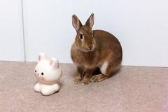 Ichigo san 621 (Ichigo Miyama) Tags: いちごさん。うさぎ。 rabbit bunny netherlanddwarf brown ichigo ネザーランドドワーフ ペット いちご うさぎ