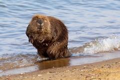 Attitude (Piedmont Fossil) Tags: sandypoint state park maryland chesapeake bay beaver mammal wildlife