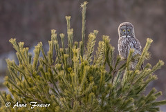 Great Gray Owl (Anne Marie Fraser) Tags: great gray owl grey greatgrayowl greatgreyowl tree nature wildlife wild raptor bird