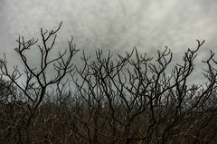 Upward Mobility (Bud in Wells, Maine) Tags: biddefordpool eastpoint shrubs cloudy maine spring plants