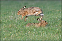 Springtime (image 2 of 2) (Full Moon Images) Tags: wildlife nature animal mammal spring leap springtime brown hare