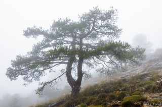 Pino laricio entre la niebla en el Calar del Río Mundo.