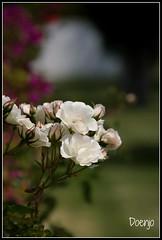 Flores Blancas (Doenjo) Tags: ayamonte huelva 2017 doenjo canoneos450d flores instagram