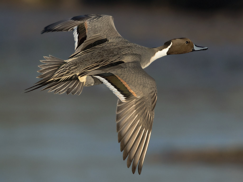 The World's Best Photos of flight and pintail - Flickr ...