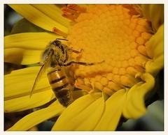 Mexican Tree Sunflower and Bee (gauchocat) Tags: arizonasonoradesertmuseum tucsonarizona