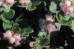 J20170314-0079—Arctostaphylos uva-ursi var marinensis—RPBG (John Rusk) Tags: ebparksok taxonomy:kingdom=plantae plantae taxonomy:clade=tracheophyta tracheophyta taxonomy:phylum=magnoliophyta magnoliophyta taxonomy:class=magnoliopsida magnoliopsida taxonomy:order=ericales ericales taxonomy:family=ericaceae ericaceae taxonomy:genus=arctostaphylos arctostaphylos taxonomy:species=uvaursi taxonomy:binomial=arctostaphylosuvaursi boixerola raisindours pinematmanzanita immergrünebärentraube bearberry arctostaphylosuvaursi kinnikinnick echtebärentraube arcuva taxonomy:common=boixerola taxonomy:common=raisindours taxonomy:common=pinematmanzanita taxonomy:common=immergrünebärentraube taxonomy:common=bearberry taxonomy:common=kinnikinnick taxonomy:common=echtebärentraube taxonomy:common=arcuva