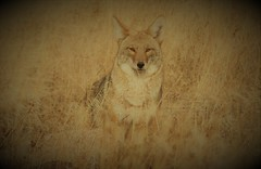 371 coyote (starc283) Tags: starc283 canon canon7d coyote wildlife nature naturesfinest predator prairie flickr flicker