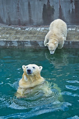 polar bear in the water and cubs try jump (♥Oxygen♥) Tags: afraid animal arctic baby bear beast brother brotherhood careless child childhood cold couple cub cuddly cute dangerous dreadful drink face fearful frisky fur game kid look mammal mischievous natural nature north nose paw playful polar portrait powerful predator raptor sibling strong swim team thirst water white wild wildlife zoo novosibirsk