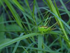 Katydid - Conocephalus semivittatus perhaps (lyndell23) Tags: insect australianinsect grasshopper green katydid blackishmeadowkatydid conocephalussemivittatus conocephalus