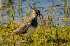 Lapwing (@nicholasaseddon) Tags: uk wildlife spring leightonmoss bird