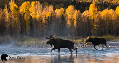 MO351 (Sam Parks Photography) Tags: alcesalcesshirasi gtnp gye grandtetonnationalpark greateryellowstoneecosystem jacksonhole nps northamerica parkservice river rockies rockymountains shirasmoose tetonrange usa unitedstatesofamerica wyoming animal antlers autumn biggame breedingseason cervic cervidae cervine cottonwoodtrees creek cross crossing fall fallcolor foliage ford fording habitat herbivore herbivorous hoof hoofedmammal hooved hooves lake large male mammal matingseason meadow nature pond rut rutting stream trophybull ungulate valley wade wading water wild wildlife woods