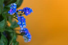 Forget me not (kaifr) Tags: flower blue myosotis closeup forgetmenot orange macro flora plant blossom romantic beautiful blooming orangeandblue macromondays