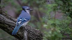 Bluejay @ Patoka Lake SP (flintframer) Tags: park state lake patoka indiana nature wildlife birds bluejay male poser canon 7d markii ef600mm 14x dattilo wow