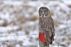 Great Gray Owl (Roger Daigle) Tags: great gray owl raptor nikon