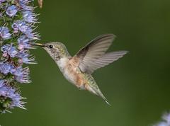 Rufous Hummingbird (f) (hyu767) Tags: 0420201738 hummingbird fufoushummingbird