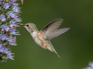 Rufous Hummingbird (f)
