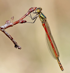 Large red damselfly (Roger H3) Tags: insect damselfly odonata red large