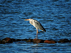 Grey Heron (Amberinsea Photography) Tags: heron greyheron häger birdphoto bird sea bythesea öland amberinseaphotography sweden gråhäger