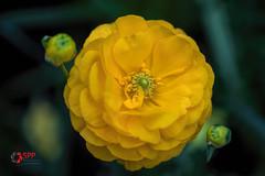 Yellow (SPP - Photography) Tags: 100mm 6d blooming blooms blossom blossoms canon canon6d eos6d flower flowers flowersplants macro100mm marjoriemcneelyconservatory nature plants saintpaul saintpaulmn twincities yellow