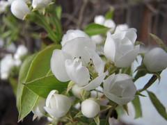 Pear in bloom (elisabeth.mcghee) Tags: weiss white birnenbaum peartree blüten blossom tree baum