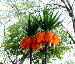 Unique and nice Two ... ♡♡ ...  ( Faves STOP !! ) (ljucsu) Tags: flowers plant outdoor spring springflowers thetwo pairs fritillariaimperialis crownimperial kaiserscrown gardenflowers ngc npc