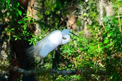 Great Egret Breeding Plumage (M. Coppola) Tags: florida hillsborough greategret ardeaalba breedingplumage