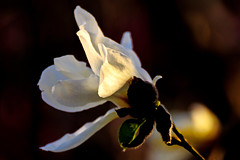Kobushi Magnolia : コブシ(辛夷) (Dakiny) Tags: 2017 spring march japan kanagawa yokohama aoba ichigao outdoor nature field park plant tree flower blossom magnolia kobushimagnolia macro bokeh nikon d7000 tamron 70300mm sp70300mmf456divcusd a005 modela005 nikonclubit