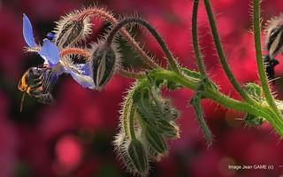 butineuse sur fleur de bourrache en back light
