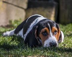 IMG_8288 (BFDfoster_dad) Tags: basset hound puppy