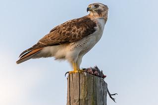 Redtail Hawk with prey