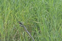 DSC_0382 (ptitmaxguyane) Tags: jaguar zoo bagne iles du salut capucin singe oiseau marais de kaw prison héron cocoï martin pecheur amerique sud buse hurubus hoazin huppé cabiaie