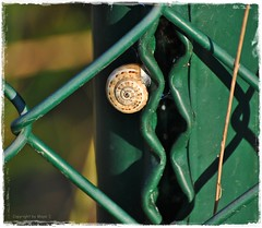 Solist * Soloist * Solista *    . DSC_7594-002 (maya.walti HK) Tags: 160417 2011 animales animals bauchfüsser caracoles copyrightbymayawaltihk flickr gastropodabauchfüsser nikond3000 schnecken snails tiere