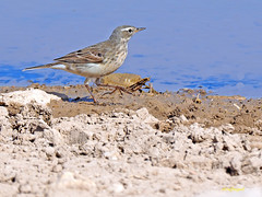 Bisbita alpino (Anthus spinoletta) (26) (eb3alfmiguel) Tags: aves pajáros insectívoros passeriformes motacillidae bisbita alpino