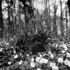 (salparadise666) Tags: mamiya c330 sekor 80mm fuji neopan acros 100200 caffenol cl semistand 36min 6x6 tlr nils volkmer medium format nature landscape contrast hannover region niedersachsen germany vintage camera