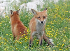 Mirror, Mirror (marylee.agnew) Tags: red fox flowers mirror canine wildlife summer grass outdoor sun nature