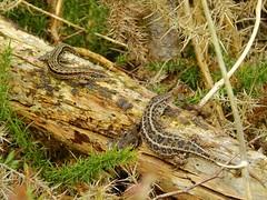 Sand Lizard (Lacerta agilis) & Common Lizard (Zootoca vivipara) (Nick Dobbs) Tags: reptile lizard common sand zootoca vivipara dorset heath heathland basking