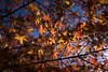 Autumn leafs (Syahrel Azha Hashim) Tags: autumnseason autumn nature sony 2016 fall holiday nopeople simple kyoto details a7ii ilce7m2 dof season getaway handheld colorimage vacation colourfulleafs prime light sonya7 naturallight backlight colorful 35mm beautiful travel syahrel shallow seasonal colors leafs tree colorfulleafs japan detail