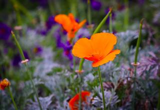 California Poppy Santa Ana Botanic Garden 045